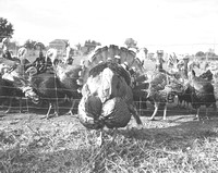 1936-11-19 Tighlman Derr Turkey Farm-4